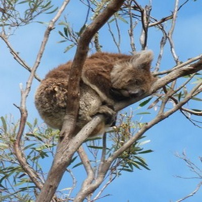 sieste du koala  (photo Catherine Gary)