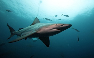 Requin tigre, 4 m de long