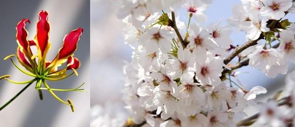 Fleurs Gloriosa  et Branches de cerisiers Sakura  © Lindigomag/Pixabay