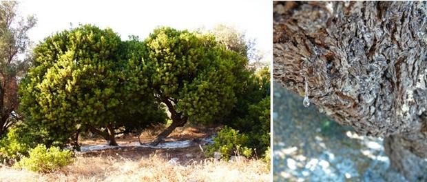 Le mastic (sakizliz en turc) est une matière issue de la sève du lentisque. Crédit Photo : D.R.