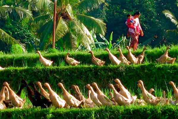 La volaille en toute liberté dans la campagne indonésienne.... © Lindigomag/Pixabay