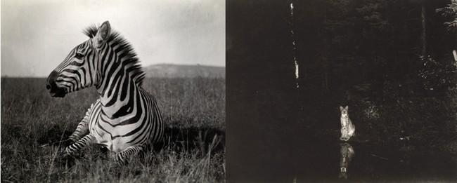 De gauche à droite : -® National Geographic (Carl E. Akeley) ; -® National Geographic  (Georges Shiras). Des pièges photographiques ont été inventés dès le début du 20e siècle pour saisir les animaux en pleine action.