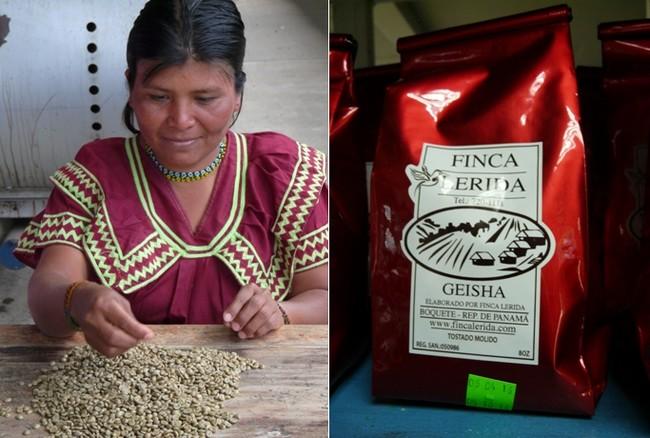 La star ici c'est le Geisha, un café produit depuis 200 ans dans la région de réputation internationale. De septembre à avril plus de 200 personnes assurent la récolte et le tri des grains jusqu'à la mise en sacs finale de 120 tonnes de café à  l'année.© C.Gary