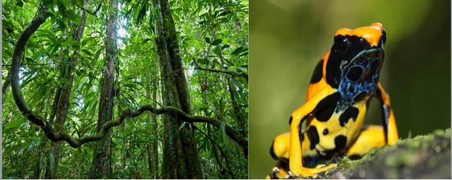 Sous-bois à Saül - © Guillaume Feuillet ; Dendrobates tinctorius, forme jaune - © V. Rufray - Biotope