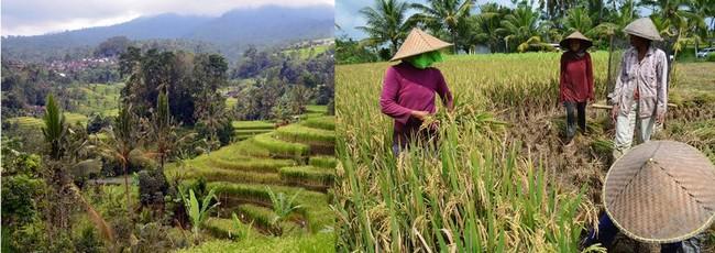 Les rizières à Bali @ David Raynal