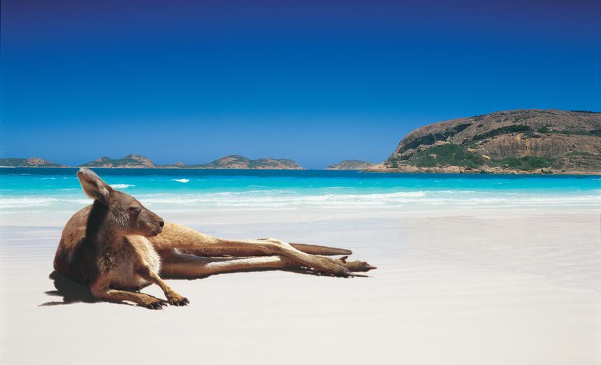 kangourou sur la plage australienne