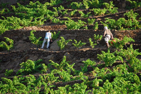 Vignes-et-murettes-terroir-vin-Banyuls-Collioure  @OT Bagnyuls