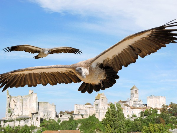 surplombant la falaise, les ruines imposantes du château des Évêques, fief de Poitiers jusqu'à la Révolution, servent de cadre et d'envol aux faucons et autres rapaces lors de spectacles étourdissants, Les Géants du Ciel. @ https://www.tourisme-vienne.com/fr/activite/79/geants-du-ciel