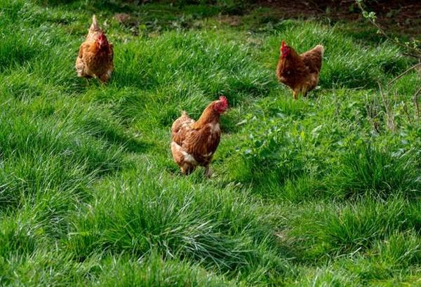 A Fontvieille, les poules vivent en plein air.... @Mas d'Auge