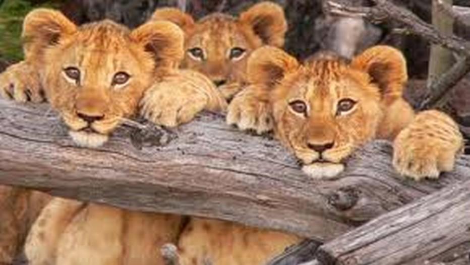 Petits lionceaux du Parc Kruger en Afrique du Sud