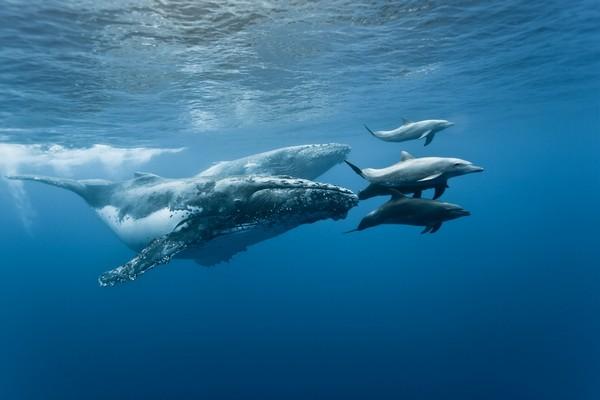 """ARTE diffusera, le 8 mai prochain, une production originale et anti-confinement, réalisée par Rémy Tézier, """" Quand baleines et tortues nous montrent le chemin """". Un film-documentaire raconté par Cécile de France. @ Eric Hamelin/Arte"""