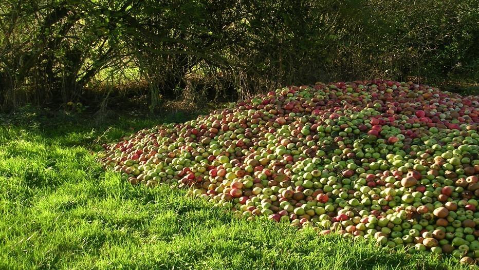 Récolte de pommes dans la région du Perche