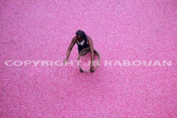 Cueillette des roses à Kânnauj dans l'état de l'Uttar Pradesh, (Photo Jean-Baptiste Rabouan)