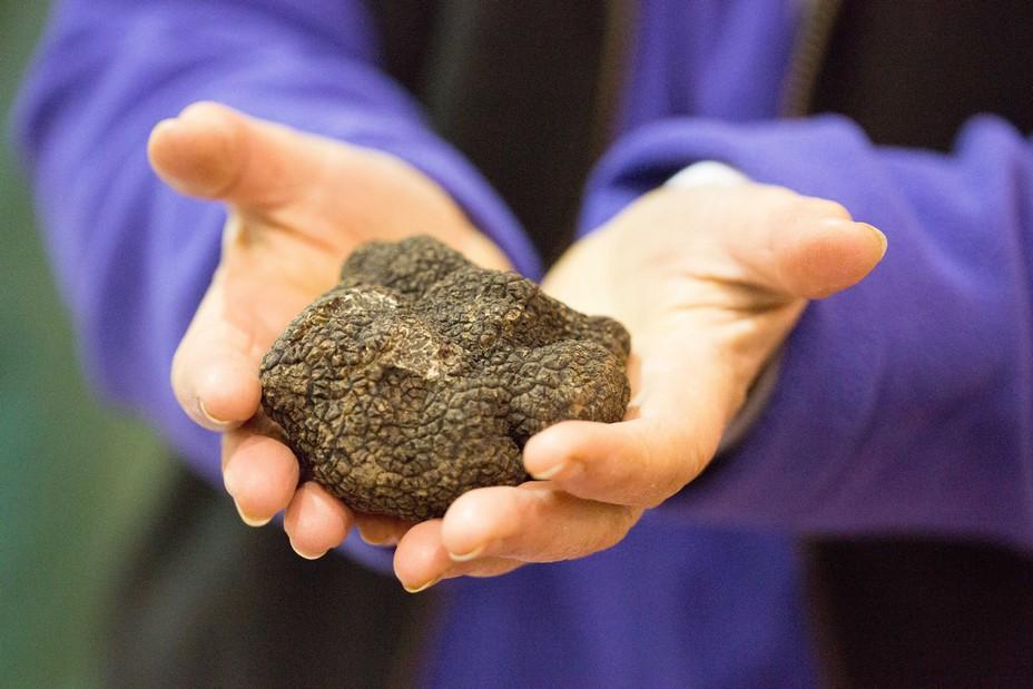 La truffe noire Melanosporum est la reine lors des  Foires grasses d'hiver©MalikaTurin