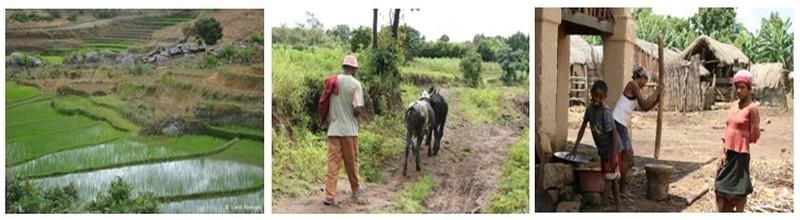 1/ Champ de culture de riz dans la région d'Ampéfy . 2/ Un paysan malgache ouvre la route de la randonnée. 3/ Famille autour du pilage du riz. (Photos L.D.)