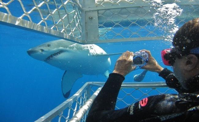 A la rencontre du requin blanc organisée par l'opérateur local Calypso Star, à deux heures de bateau de Port Lincoln (South Australia) et à 40 minutes d'avion d'Adélaide ©Patrick Cros