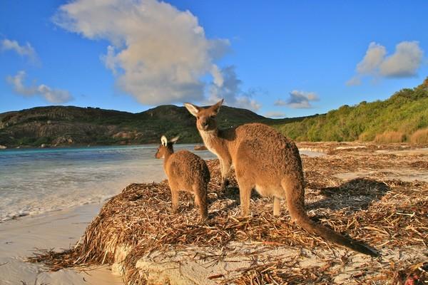 Kangourous sur la plage d'Esperance ©Patrick Cros