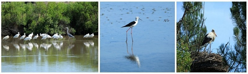 La réserve du Teich accueille toute l'année les migrateurs. Echasses, spatules, hérons , cigognes… (photos DR)