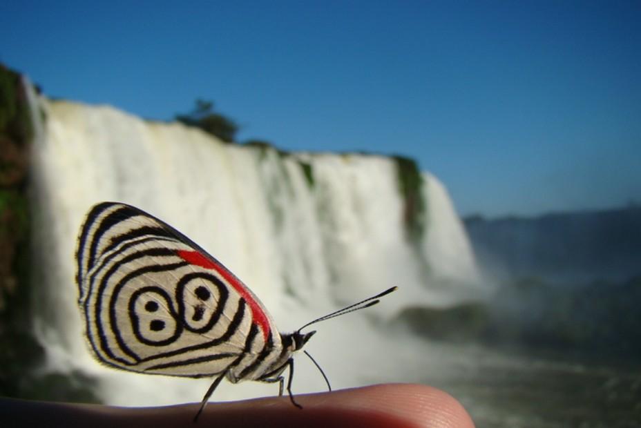 Un magnifique Borboleta pris en photo devant les chutes  d'Iguazù en Argentine. @ Wikipedia