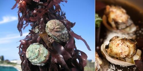 de gauche à droite : Les ormeaux sont des vrais brouteurs d'algues;  Recette d'ormeaux poélés au blé noir par Olivier Bellin, auberge des Glazicks.  (photos DR)