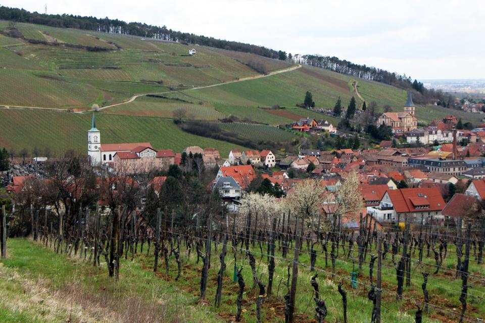 Dans un écrin de vignes, sur le flanc sud d'une colline du centre Alsace, à 210 m d'altitude, la région de Mittelbergheim est traversée par la Route des Vins. (Crédit photo David Raynal).