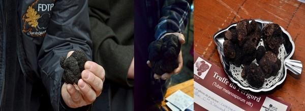 Mais si la « truffe noire du Périgord » est la plus renommée, on trouve aussi fréquemment en Périgord Noir deux autres espèces de truffes qui ont un intérêt gustatif : la truffe brumale (Tuber brumale), autre truffe d'hiver avec des arômes moins subtils, et qui se vend au tiers du prix de la melanosporum, et la truffe d'été (Tuber aestivum) qui se consomme fraîche et crue. (Crédit photos David Raynal)