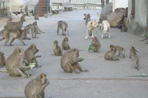 Les macaques par centaines rappliquent tous car les boutiques et snacks ferment et distribuent les restes. © Richard Bayon