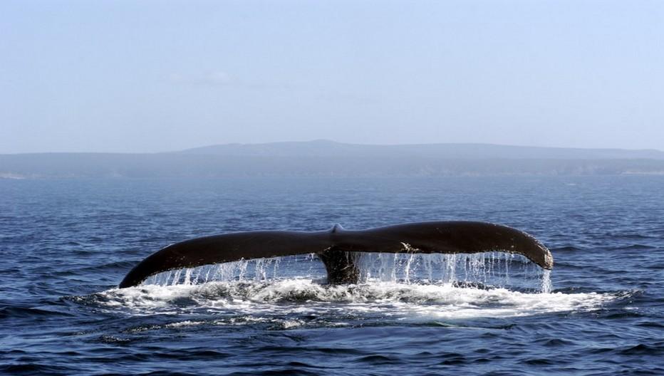Le parc marin du Saguenay-Saint-Laurent se parcourt, lui, en Zodiac, en kayak de mer ou à bord d'un navire tout confort pour aller à la rencontre de plusieurs espèces de baleines, depuis Tadoussac ou Les Bergeronnes.  © O.T. Québec