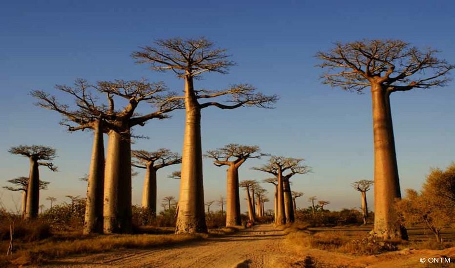 Allée des baobabs © ONTM