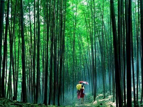 Forêt de bambous à Chishui , petite ville à une heure de route de Guizhou  dont l'ambiance aérée et tranquille reflète un choix en faveur de l'environnement.  © Danxia  ONTC