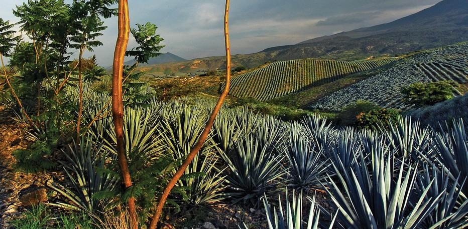 Dans les alentours du village de Tequila, en Jalisco, s'étendent les champs bleu-vert d'agave.© www.visitmexico.com