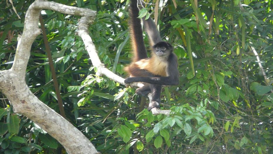 En bateau vers l'Ile aux Singes après avoir traversé le canal de Panama en direction du lac artificiel Gatùn. Les singes capucins au faciès blanc sont peu sauvages et se livrent sous vos yeux à d'espiègles acrobaties © C.Gary