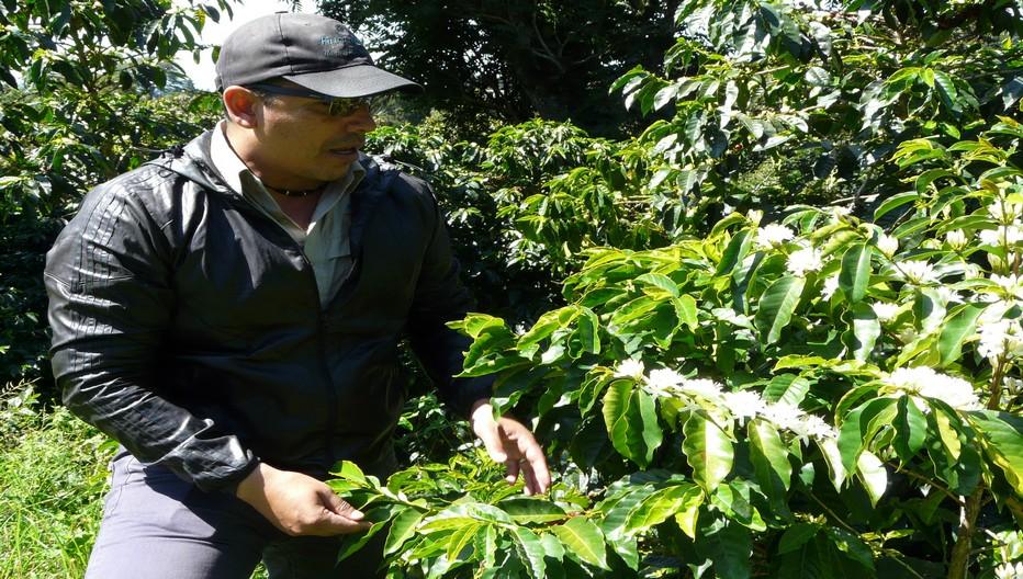 Une Route du café est proposée aux visiteurs comprenant la visite de quatre plantations et la dégustation de certaines variétés.© C.Gary