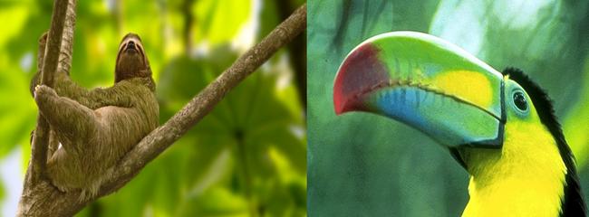 La biodiversité végétale et animale est exceptionnelle en Amérique centrale. Il n'est pas rare de croiser dans la jungle des paresseux et toucans.  Copyright visitcentroamerica.com