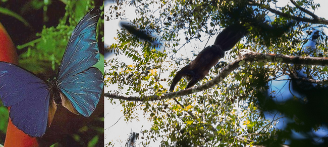 Papillons morphos aux couleurs métalliques et Saki Satan, Chiropotes , grand singe  du plateau des Guyanes. © G.FeuilletPAG