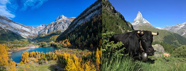 De gauche à droite :  Au bord des lacs de montagne, on retrouve toutes les nuances des paysages ensoleillés.© OT Valais; Les magnifiques vaches d'Hérens comme la nombreuse faune des montagnes a su s'adapter  aux caprices de cet univers alpin. ©RomainDaniel