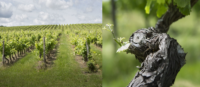Atout fort pour le développement du tourisme en Haute-Garonne, l'excellence du vignoble frontonnais est mondialement reconnue. Parmi les plus grands vignobles du grand sud-ouest. @ C.G.de l'Agriculture de Haute-Garonne