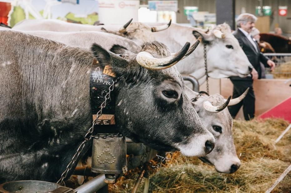 Le Label rouge Gasconne des Pyrénées a d'ailleurs été le premier Label Rouge « gros bovin » obtenu dès 1997, spécifiquement par la Région Occitanie, en race rustique.  @ SIA 2019 Porte de Versailles à Paris