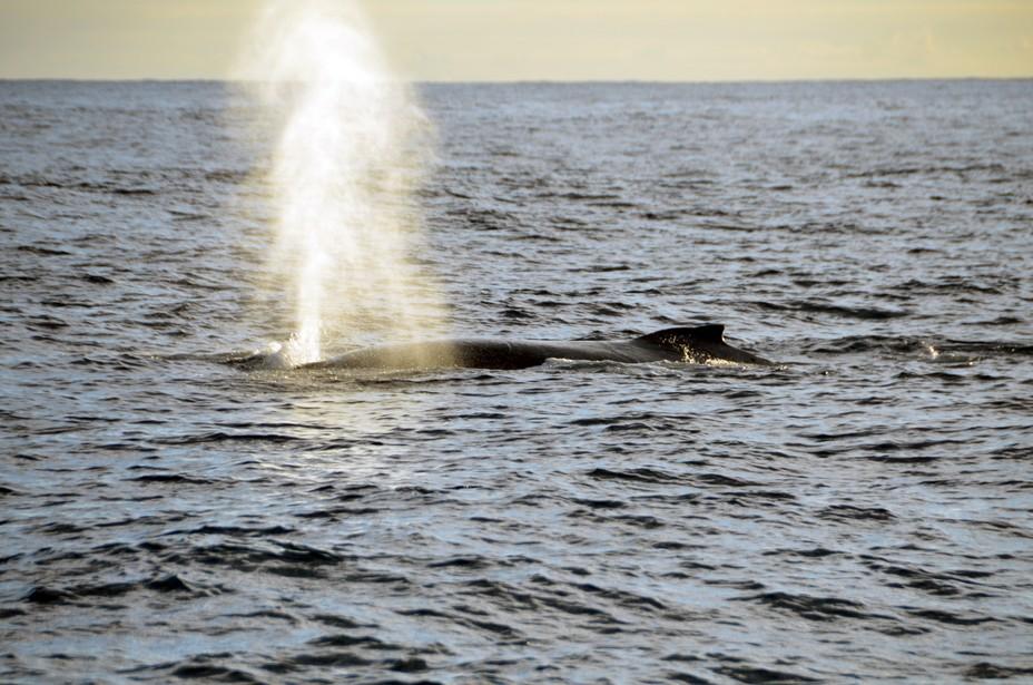 Retour dans l'Océan Indien (La Réunion) de la faune marine, baleines à bosse et tortues de mer. @ David Raynal