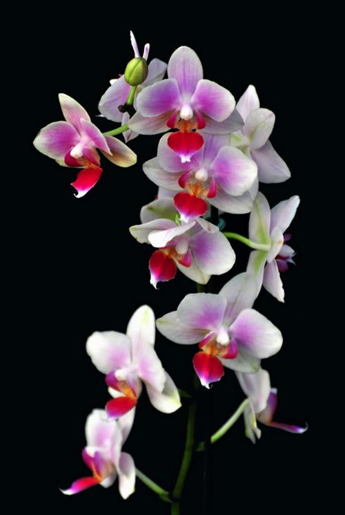 Magnifiques orchidées cultivées dans de nombreux pays du monde particulièrement en Thaïlande. @ DR