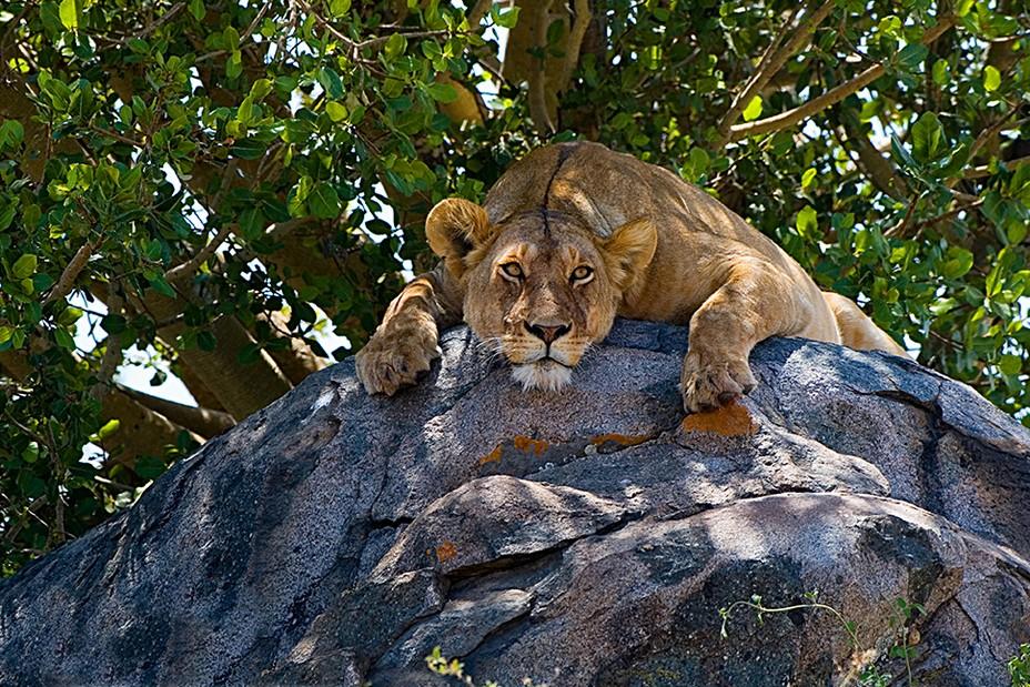 Rencontre avec ce félin dans un park animalier lors d'une visite guidée avec @ Tanganyka expéditions.