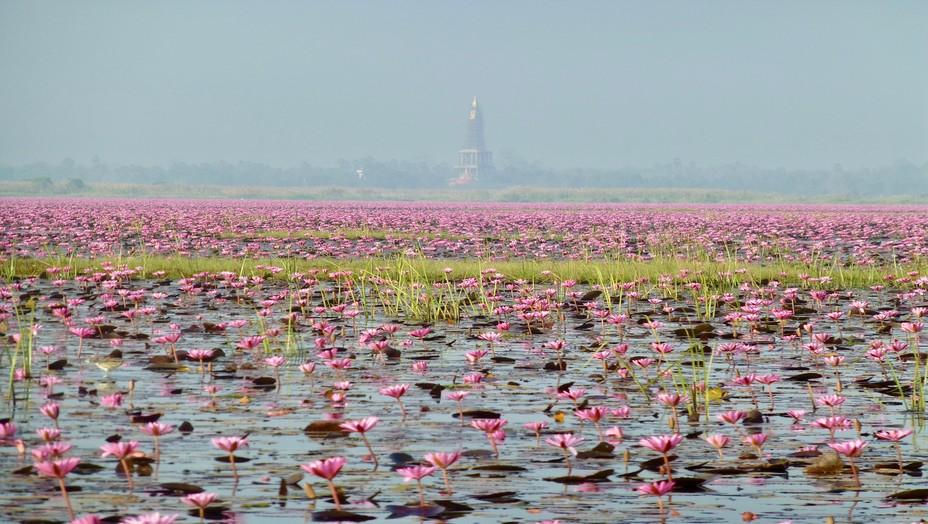 Une vraie mer d'eau douce que ce lac tapissé de lotus rouges avec au loin un stupa doré. @ C. Gary