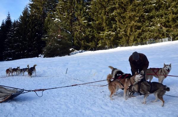 Alternative au ski alpin, notamment en cette période de pandémie, une balade de quelques minutes ou de quelques heures avec des chiens de traineau en communion parfaite avec la nature constituera l'un de vos plus beaux souvenirs de vacances à la neige. © David Raynal