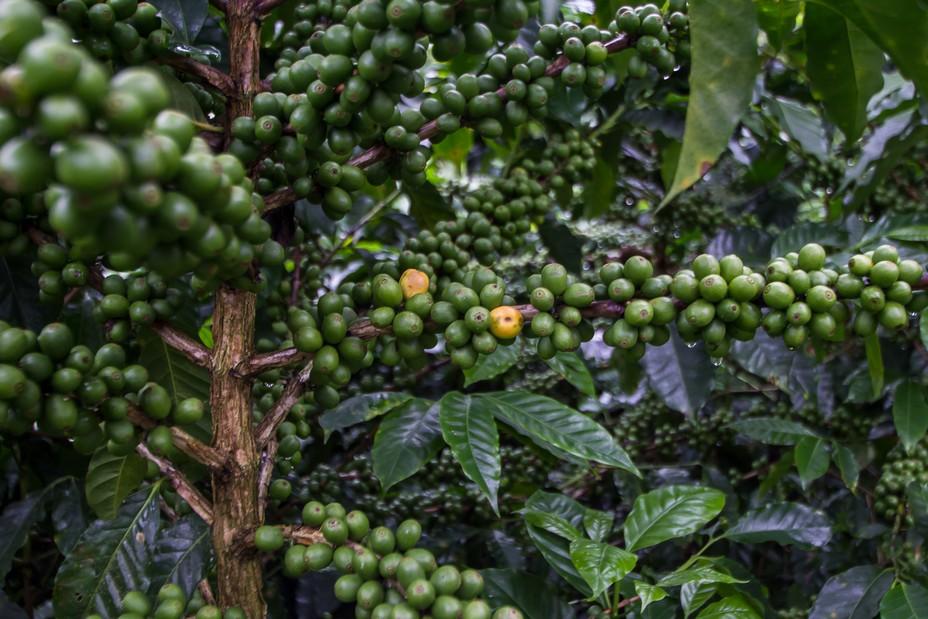 Le climat tropical est naturellement favorable au développement des caféiers @ OT Amérique Centrale