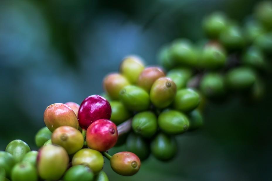 La production centraméricaine est constituée quasi exclusivement de cafés arabica d'altitude @ OT Amérique Centrale.