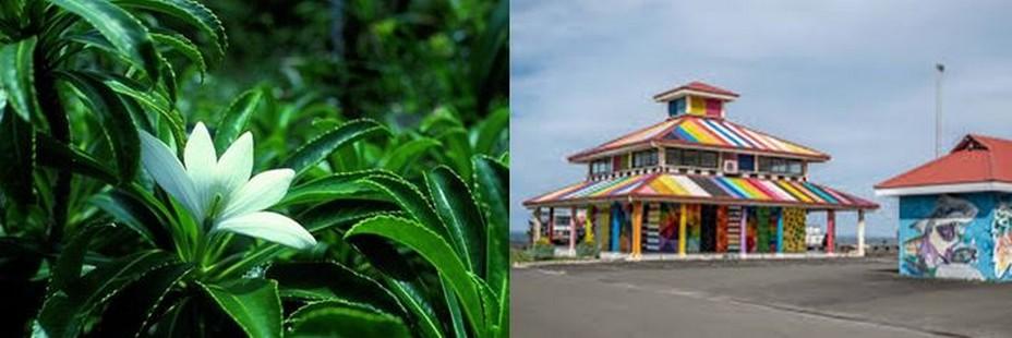 Fleur  « Tiaré Apetahi ». et   festival de Street art « Ono'u » qui a  lieu sur l'île chaque année. @ Wikipedia/TripAdvisor/Lindigomag
