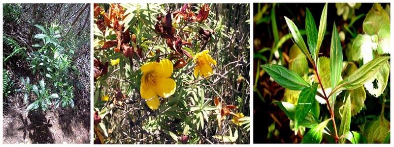 L'utilisation des plantes médicinales est bien ancrée dans la tradition réunionnaise. Le bois de joli cœur, le faham, le bois fleur jaune, l'ayapana, l'ambaville… (Crédit Photos DR)