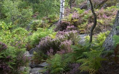 Bruyère en forêt (Crédit Photo DR)