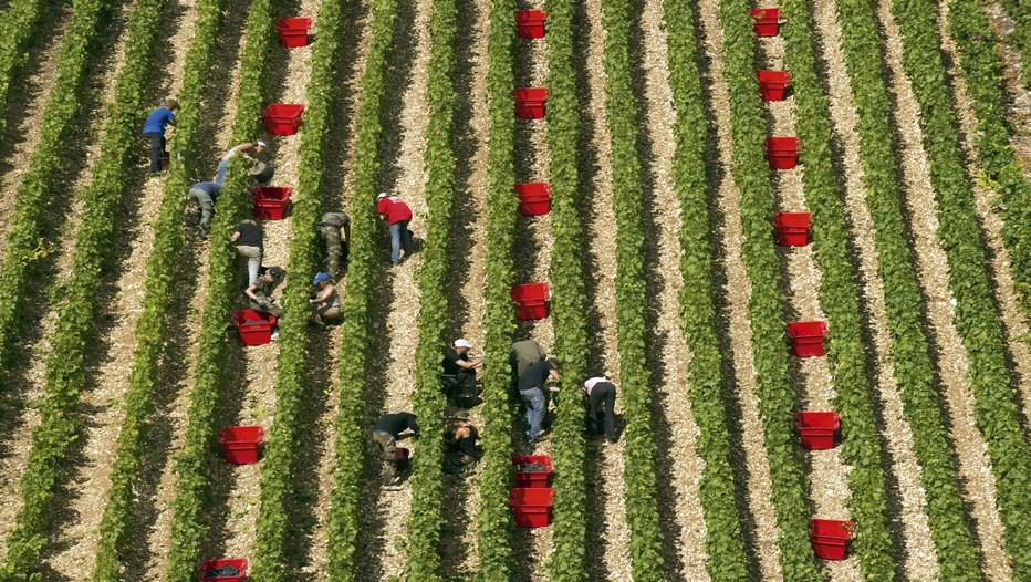 Vendanges dans le petit village Des Riceys  (© Michel Jolyot)