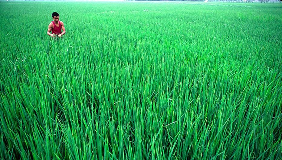Culture du Riz en Chine (Crédit photo DR)